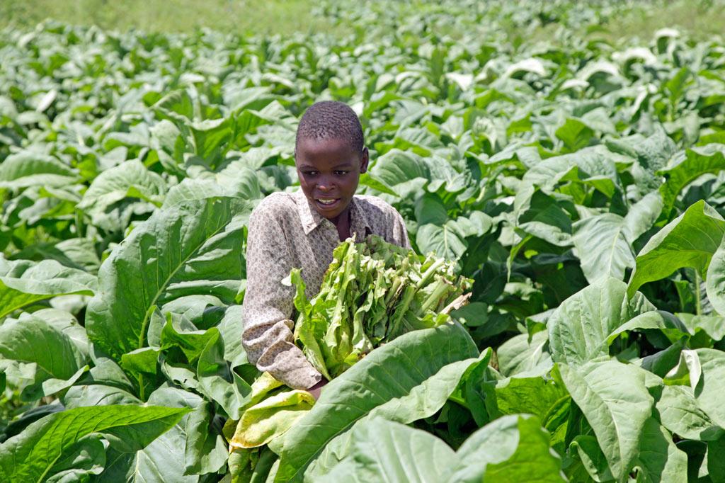 Ausrufezeichen gegen Kinderarbeit: In Sambia schuftet jedes dritte Kind im Alter von sieben bis 14 Jahren. Dabei leisten die Kinder zum Teil extrem schwere und gesundheitsgefährdende Arbeit wie hier auf einer Tabakplantage.
