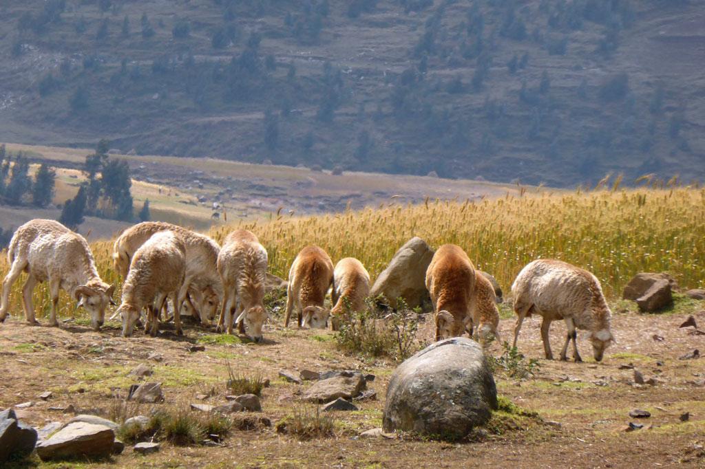 Eine Schafherde in Äthiopien als Weg aus der Armut